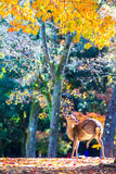 Deer near Todaiji temple in Nara, Japan. For adv or others purpose use Stock Image