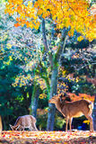 Deer near Todaiji temple in Nara, Japan Royalty Free Stock Photo