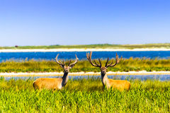Deer near water Royalty Free Stock Images