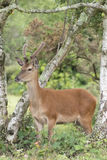 Deer in the New Forest. Young deer in the New Forest Hampshire UK Stock Photo