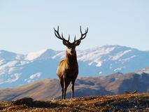 Deer in New Zealand Stock Image