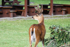Deer on Newcastle Island. Deer roam freely on Newcastle Island, across from Nanaimo, BC, Canada stock photo