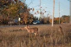 Deer next to road Royalty Free Stock Photo