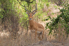 Deer in  Ngorongoro Conservation Area, Tanzania Stock Photos