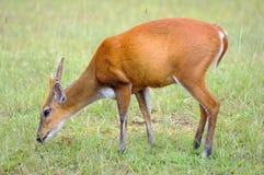 Deer nibble grass. Deer nibble grass in national park, Thailand Stock Photos