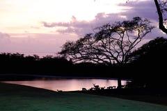 Deer night lake Hawaii Stock Photography