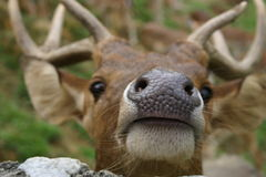 Deer nose. Photo was taken while feeding deer. They have gorgeous noses Royalty Free Stock Images