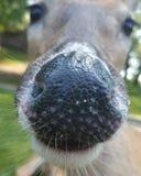 Deer Nose stock photography