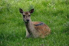 Deer oh Deer Stock Photos