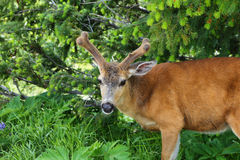 Deer in Olympic National Par Royalty Free Stock Images