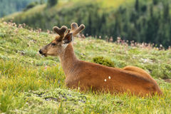 Deer in Olympic National Park, WA, USA Stock Photography