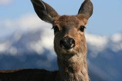 Deer at Olympic National Park, Washington. Closeup portrait of Deer with blurred moutain background at Hurricane Ridge, Olympic National Park, Washington, USA stock photos
