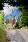 Deer with one antler. Royalty Free Stock Image