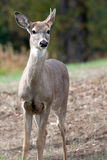 Deer with one antler. A close up of a deer with one antler royalty free stock image