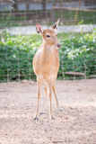 Deer. One deer in zoo of thailand Stock Photos