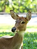 Deer in the open zoo Stock Photography
