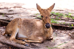 Deer in the open zoo. Thailand Royalty Free Stock Photography