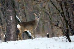 Deer outdoor Stock Photo