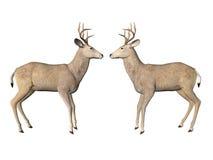 Deer Pair Royalty Free Stock Images