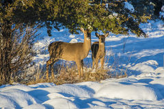 Deer. A pair of white tail deer foraging for food after a snowfall Stock Photos