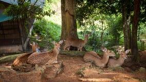 Deer in Paradise Park Farm, Koh Samui royalty free stock image