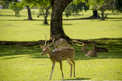 Deer in the park. Male deer in the park. Bogor, Indonesia, alert animals cervidae closeup countryside deer details field grass green group look looking lying Stock Images