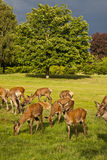 Deer park Royalty Free Stock Photos