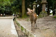 Deer in park Stock Images