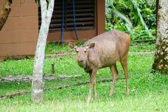 Deer in Park Stock Images