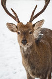 Deer in the Park Royalty Free Stock Photography
