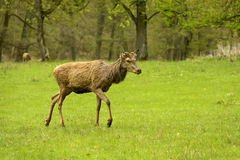 Deer in the park, Stuttgart Royalty Free Stock Photography
