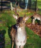 Deer looking at the camera stock image