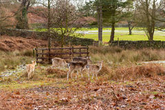 Deer in a park at wintertime Stock Photo
