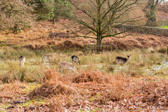 Deer in a park at wintertime Stock Image