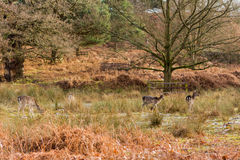 Deer in a park at wintertime Stock Images