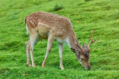 Deer on the Pasture Royalty Free Stock Photos