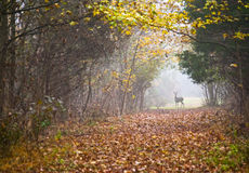 Deer Path. An Autumn scene with a deer at the end of a foggy trail in Central New Jersey Stock Images