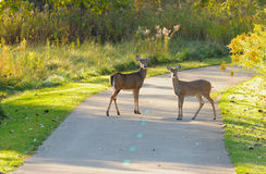 Deer on paved path. Two deer on a city park bike path in early morning light Royalty Free Stock Images