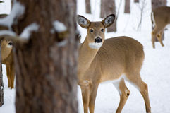 Deer peeking Stock Images