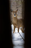 Deer peeking through trees. Royalty Free Stock Photos