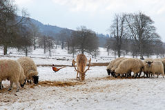 Deer, pheasant and sheep in the snow Royalty Free Stock Photography