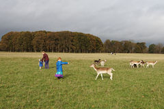 Deer in Phoenix Park Stock Image
