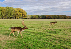 Deer in Phoenix Park Stock Photography