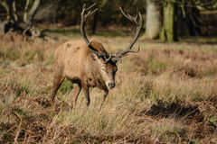 Deer. Picture was taken at Richmon Park, London Royalty Free Stock Photography