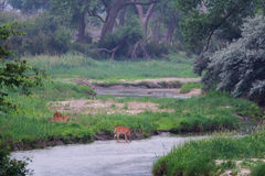 Deer by the Platte River in Early Morning. Three deer stand by the Platte River as it peacefully flows by lush grass and trees Stock Photography