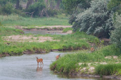 Deer by the Platte River in Early Morning. Three deer stand by the Platte River as it peacefully flows by lush grass and trees Stock Images