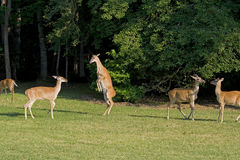 Deer playing in field Royalty Free Stock Images