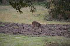 Deer in plowed ground. This was taken in my back yard in Wood County Texas. This guy was checking out the ground where Hogs had plowed the ground. Sure makes Royalty Free Stock Image