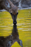 Deer Pond Royalty Free Stock Image