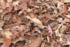 Deer scat in the woods on fallen leaves. Deer poop on fallen leaves in the woods stock photos